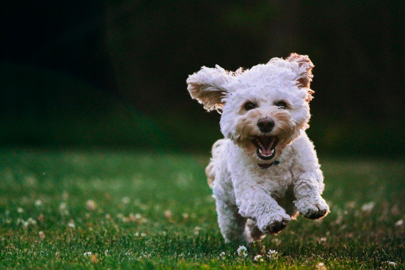 American Shaman's CBD Routine for Dogs
